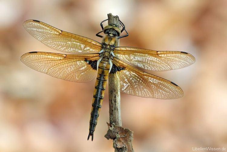 Epitheca Zweifleck Epitheca bimaculata LibellenWissende