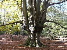 Epping Forest httpsuploadwikimediaorgwikipediacommonsthu
