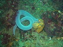 Eptatretus hexatrema httpsuploadwikimediaorgwikipediacommonsthu