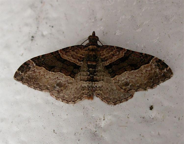 Epyaxa lucidata