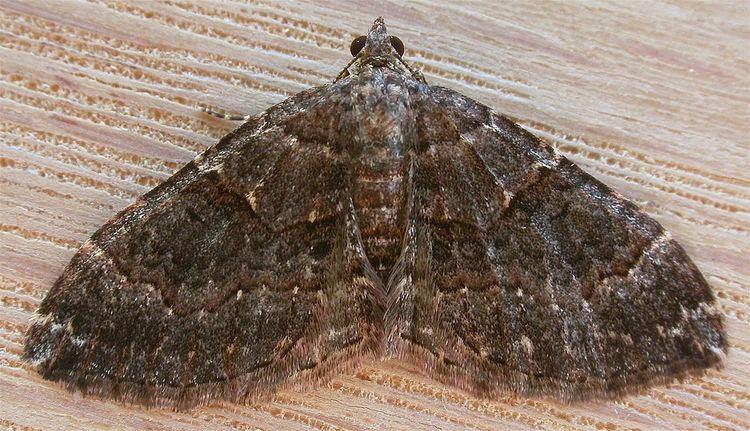 Epyaxa sodaliata