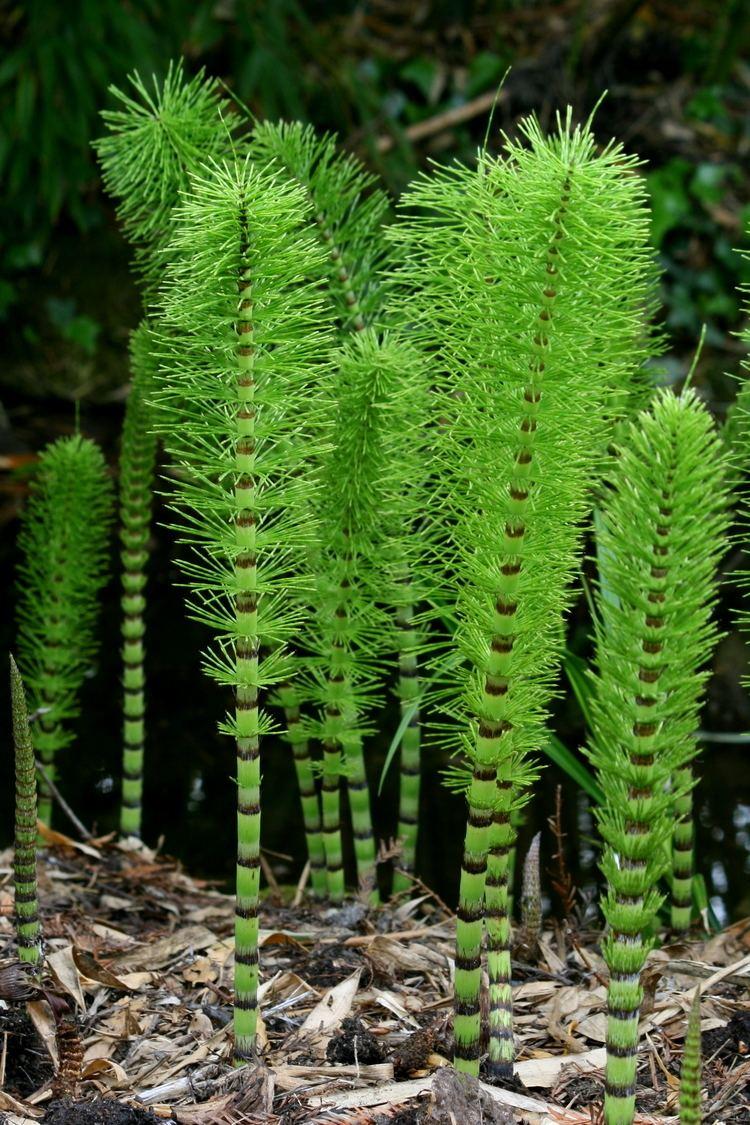 Equisetopsida Equisetopsida Wikipedia