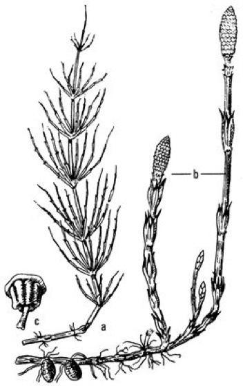 Equisetopsida Equisetopsida Kompaktlexikon der Biologie Spektrum der Wissenschaft