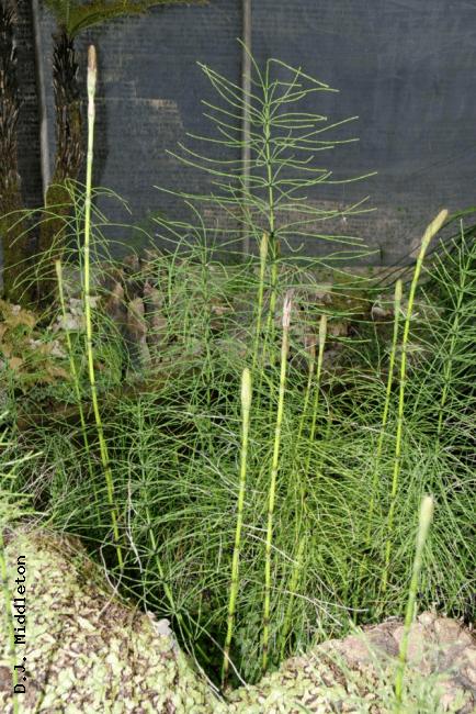 Equisetum diffusum rbgweb2rbgeorgukthaifernsfactsheetsimages