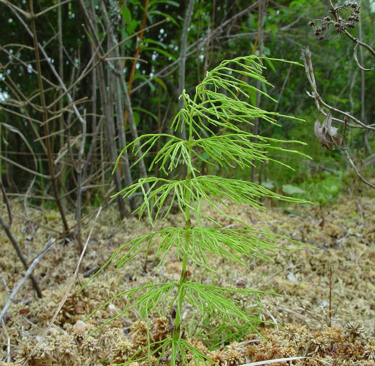 Equisetum sylvaticum Equisetum sylvaticum wood horsetail Go Botany