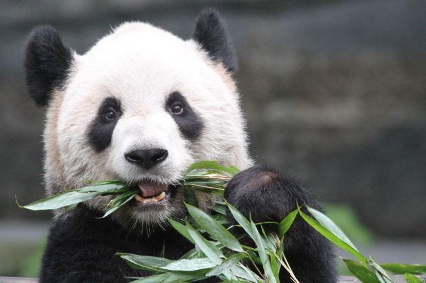 Er Shun Er Shun amp Da Mao will arrive at Toronto Zoo on March 25 2013