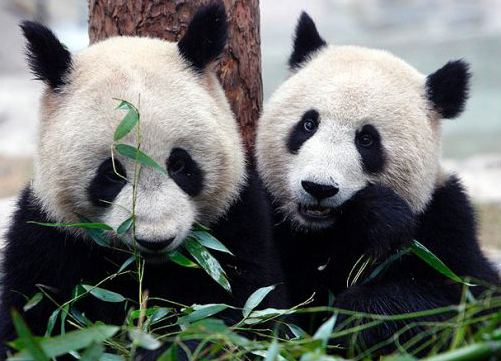 Er Shun Da Mao and Er Shun get cash registers jingling at Toronto39s Zoo