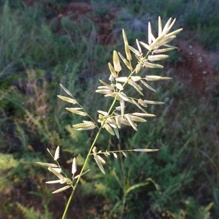 Eragrostis cilianensis SEINet Arizona Chapter Eragrostis cilianensis