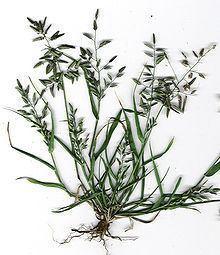Eragrostis cilianensis httpsuploadwikimediaorgwikipediacommonsthu