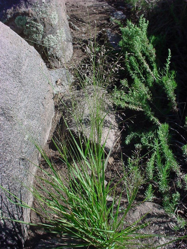 Eragrostis intermedia Vascular Plants of the Gila Wilderness Eragrostis intermedia