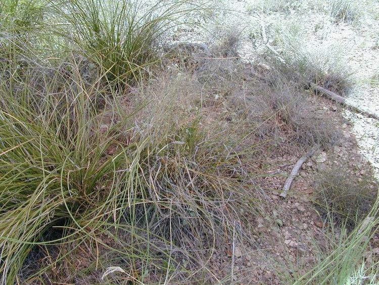 Eragrostis intermedia Research amp Extension Center Virtual Herbarium Plains Lovegrass