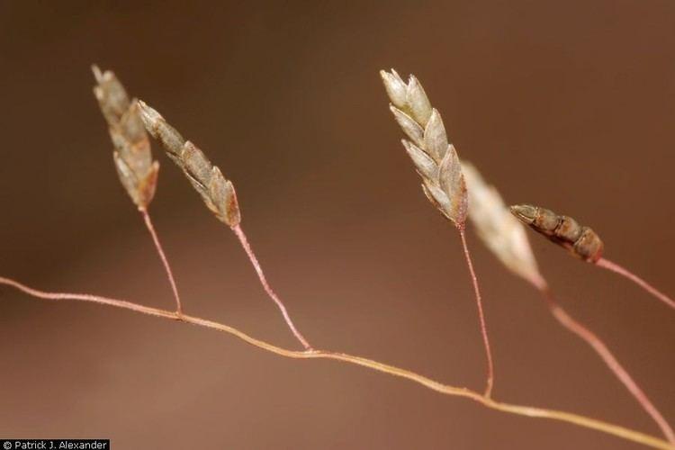 Eragrostis intermedia Plants Profile for Eragrostis intermedia plains lovegrass