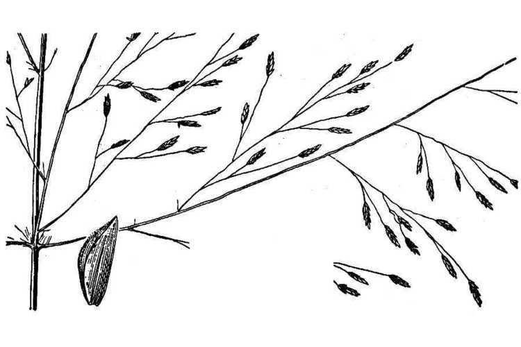 Eragrostis intermedia luirigaltervistaorgcpmalbumsbot2009hitch2hi