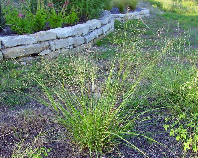 Eragrostis intermedia Eragrostis intermedia Plains lovegrass NPIN
