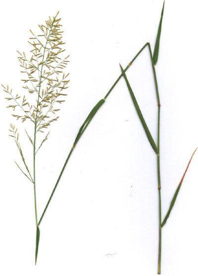 Eragrostis lehmanniana Lehmann Love Grass in the Sonoran Desert