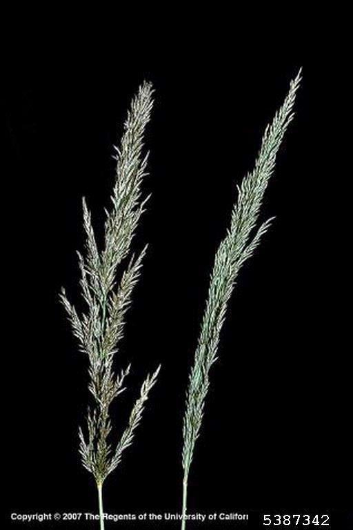 Eragrostis lehmanniana Lehmann lovegrass Eragrostis lehmanniana Cyperales Poaceae 5387342