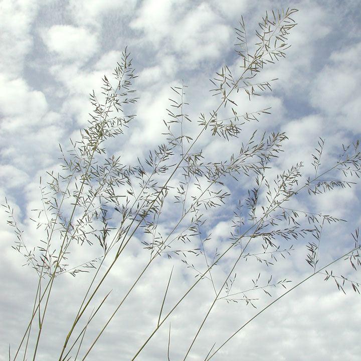 Eragrostis lehmanniana SEINet Arizona Chapter Eragrostis lehmanniana