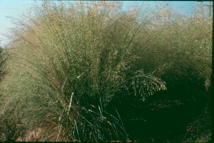 Eragrostis trichodes httpsuploadwikimediaorgwikipediacommons88