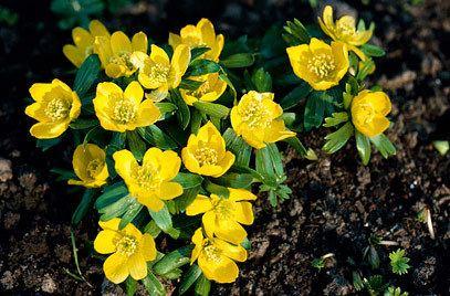Eranthis Eranthis hyemalis winter aconiteRHS Gardening