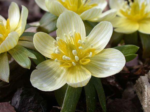 Eranthis Pacific Bulb Society Eranthis