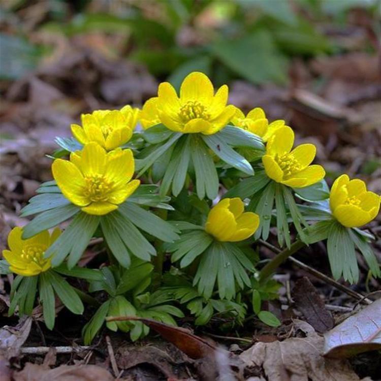 Eranthis hyemalis Winter Aconite Eranthis Hyemalis Bulbs x 100 Internet Gardener