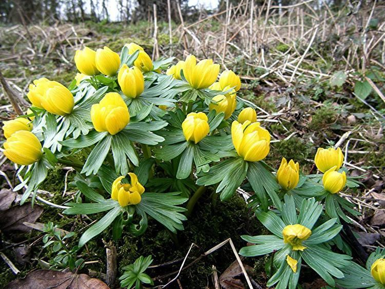 Eranthis hyemalis Winter Aconite Eranthis hyemalis NatureSpot