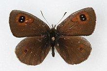 Erebia callias httpsuploadwikimediaorgwikipediacommonsthu