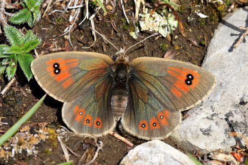 Erebia cassioides Erebia cassioides on euroButterflies by Matt Rowlings
