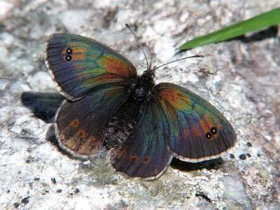 Erebia tyndarus Erebia tyndarus on euroButterflies by Matt Rowlings