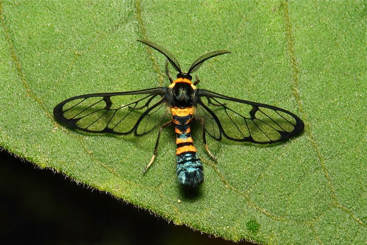 Erebidae Arctiine Wasp Moth Syntomini Arctiinae Erebidae Flickr