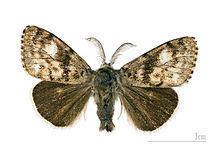Erebidae Erebidae Wikipedia