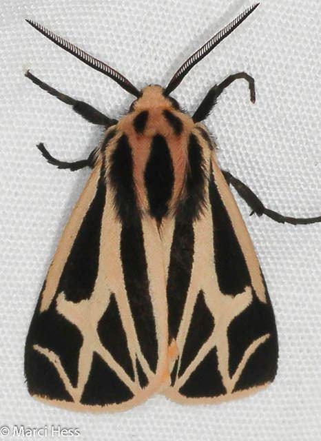 Erebidae Erebidae Tiger Lichen Underwing Litter and Snout Moths
