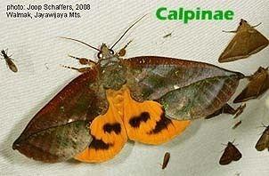 Erebidae Papua Insects Foundation LepidopteraErebidae subfamilies