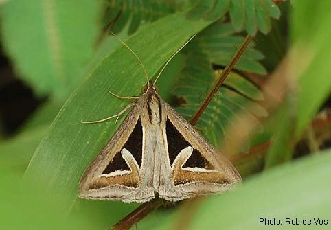 Erebidae Papua Insects Foundation LepidopteraErebidaeErebinae