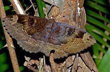 Erebus caprimulgus httpsuploadwikimediaorgwikipediacommonsthu