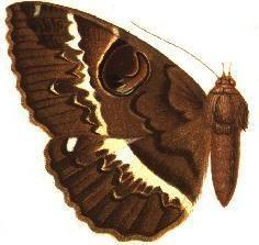 Erebus crepuscularis