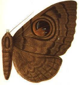 Erebus macfarlanei