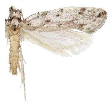 Erechthias dracaenura