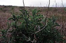 Erechtites glomeratus httpsuploadwikimediaorgwikipediacommonsthu