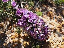 Eremaea violacea httpsuploadwikimediaorgwikipediacommonsthu