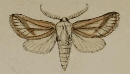 Eremocossus foedus