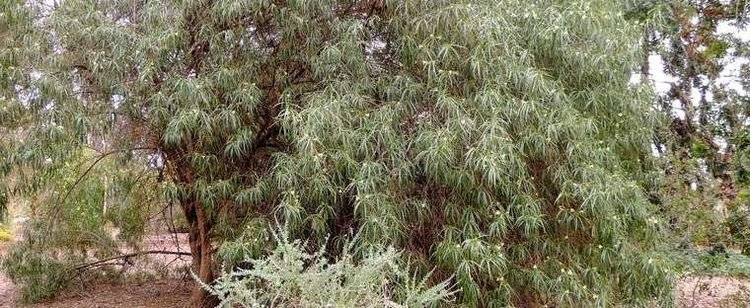 Eremophila bignoniiflora Eurah Dogwood Emu Bush Eremophila bignoniiflora