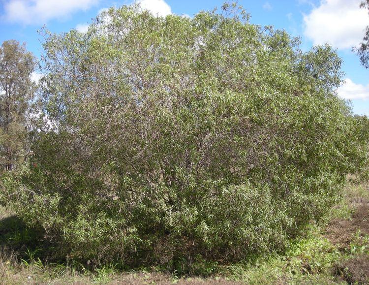 Eremophila bignoniiflora Eremophila bignoniiflora Wikipedia