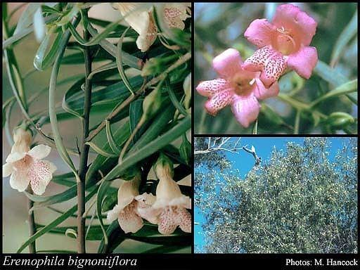 Eremophila bignoniiflora httpsflorabasedpawwagovausciencetimage71