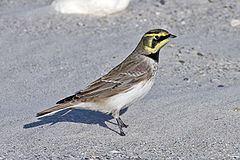 Eremophila (bird) httpsuploadwikimediaorgwikipediacommonsthu