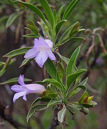 Eremophila freelingii httpsuploadwikimediaorgwikipediacommonsthu
