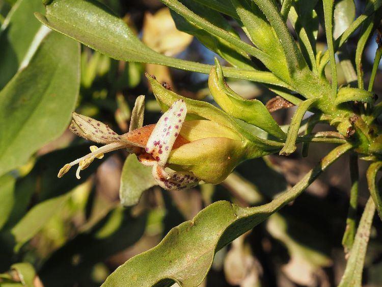 Eremophila galeata