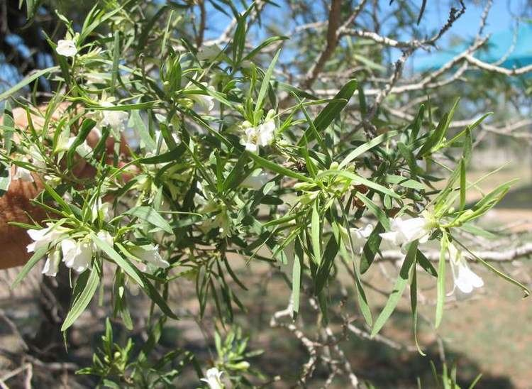 Eremophila mitchellii False Sandalwood