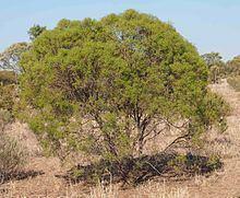 Eremophila mitchellii httpsuploadwikimediaorgwikipediacommonsthu