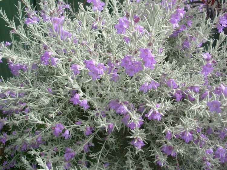 Eremophila nivea My Garden Silky Eremophila Eremophila nivea Muttley 05 Flickr
